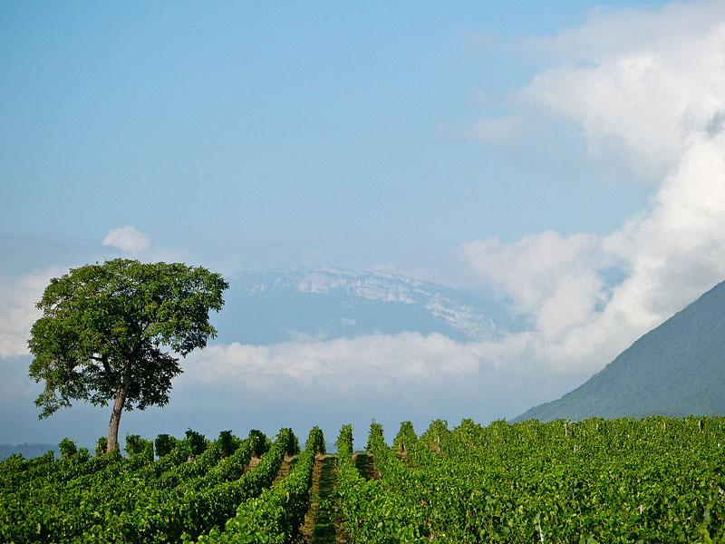 Paysage vignes et montagnes près de votre location de vacances en Savoie